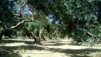 Land plot in Kastelli area with olive trees
